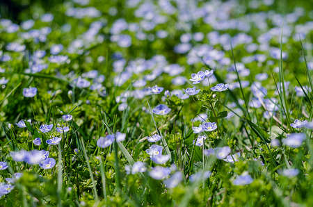 plantaginaceae: Veronica Small delicate flowers blooming outdoors in spring Stock Photo