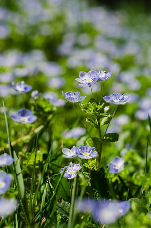Veronica Small delicate flowers blooming outdoors in spring Stock Photo