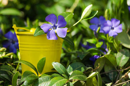 Periwinkle blue flowers are beautiful in spring day stock photo periwinkle blue flowers are beautiful in spring day stock photo 77386870 mightylinksfo