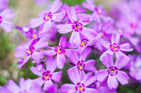 Little flowers blooming phlox pink with a soft color