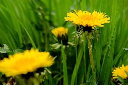 Žluté květiny pampelišky rostou venku na jaře jeho semena