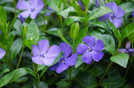 Periwinkle blue flowers are beautiful in spring day stock photo periwinkle blue flowers are beautiful in spring day stock photo 78069758 mightylinksfo