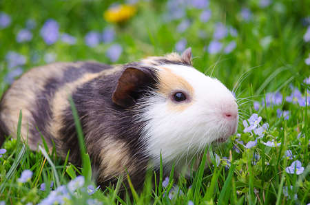 guinea pig walks in the fresh air and eating green grass Imagens