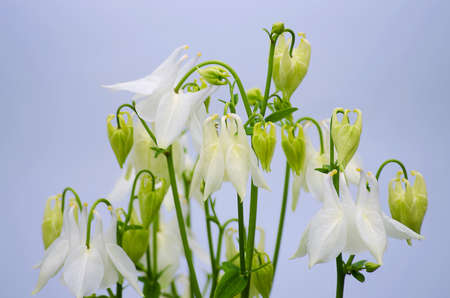pink columbine: Good high columbine flowers spring outdoor growing Stock Photo