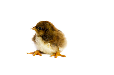 hatched: Small fluffy baby chick on limited white background