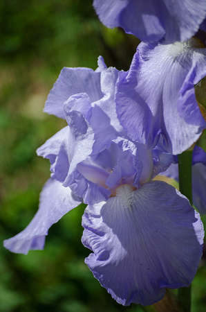 Tall and big flowers irises outdoors or on a white background