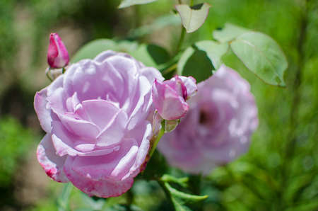 Purple roses bloom with a beautiful outdoor bouquet in the garden in the summer