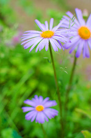 chamomile flower: Soft  daisies bloom in summer field against the sky