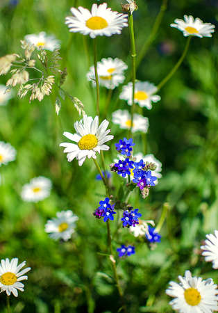 chamomile flower: Soft white daisies bloom in summer field against the sky