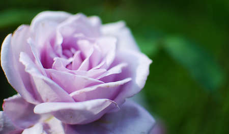 Blooms fragrant rose with green blooms outdoors Zdjęcie Seryjne
