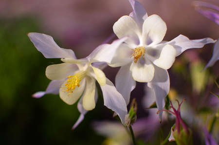 contrast floral: Good high columbine flowers spring outdoor growing Stock Photo