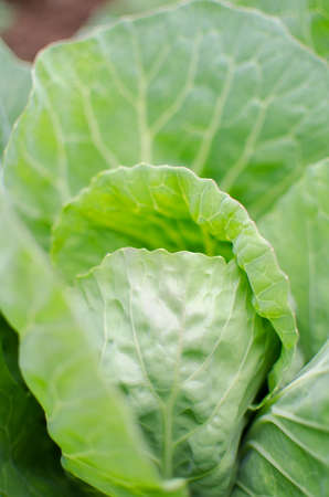 Green cabbage grows in the fresh air in the summer with drops of rain