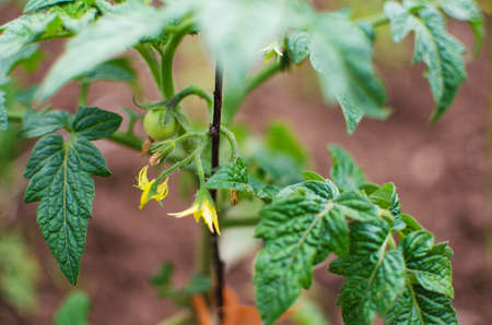 Blossom tomatoes on a green stalk in the summer