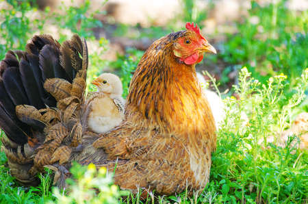 Happy Home poultry chickens grazing and walking outdoors