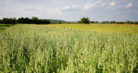 agrarian: Ears of rye and wheat growing on field