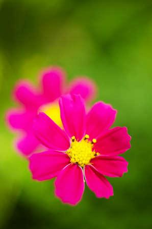 kosmeya pretty flower like a daisy growing outdoors Stock Photo