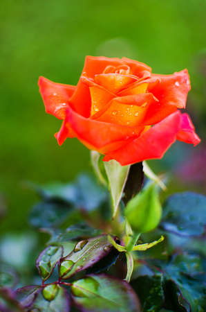 celebration: orange roses on a branch with green leaves outdoors in summer