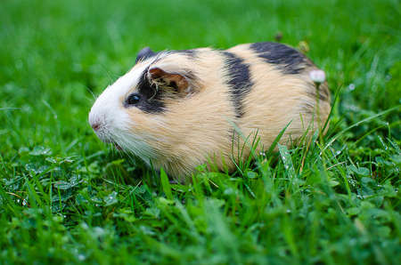 guinea pig walks in the fresh air and eating green grass Stock Photo