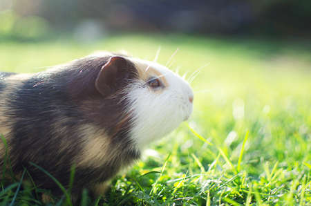 cavie: guinea pig walks in the fresh air and eating green grass Archivio Fotografico