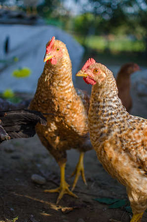 profile: Happy Home poultry chickens grazing and walking outdoors
