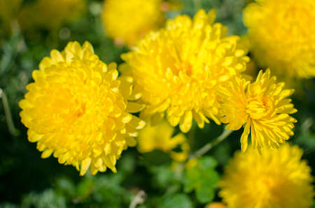 Chrysanthemum flowers grow outdoors in the fall on a sunny day