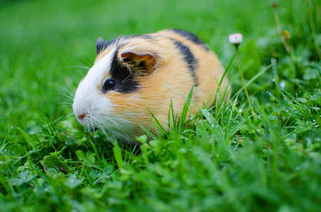guinea pig walks in the fresh air and eating green grass Фото со стока