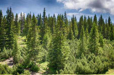 Slender green trees in the forest in summer Stock Photo