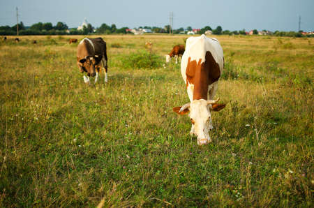 A large cow pases on a meadow of clean grass in the summer