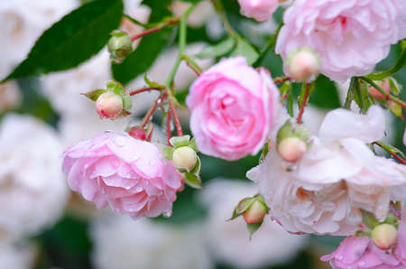 Blooms fragrant pink rose with green blooms outdoors Stock Photo