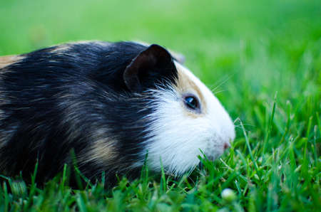 guinea pig walks in the fresh air and eating green grass Banco de Imagens