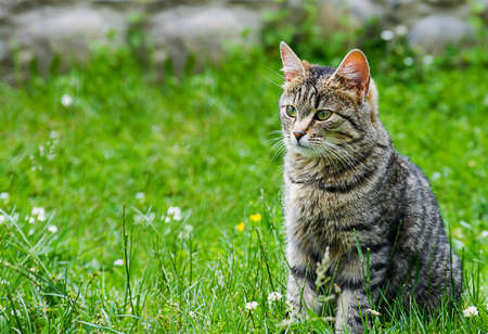 The cat walks in the fresh air on green grass