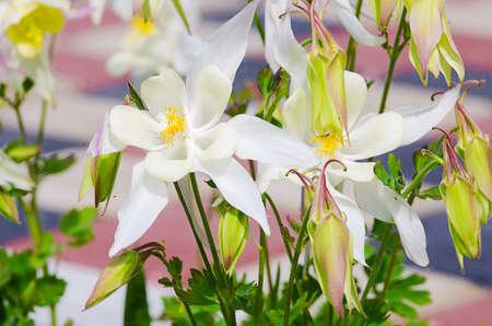 Good high columbine flowers spring outdoor growing Stock Photo