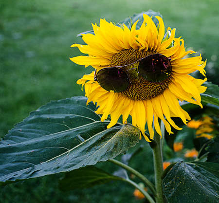 Yellow large sunflower grows on the field in the fresh air