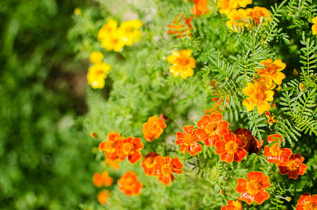 Orange juice flowers grow in the fresh air is a medicinal plant