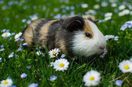 guinea pig walks in the fresh air and eating green grass Reklamní fotografie