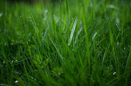 L'herbe verte Timothy-grass sur un fond blanc limité Banque d'images