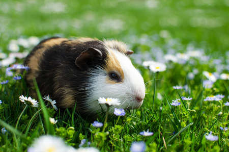 guinea pig walks in the fresh air and eating green grass 스톡 콘텐츠