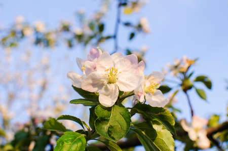 Pink delicate and fragrant apple blossoms in spring liltsi outdoors