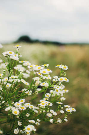 Soft white daisies bloom in summer field against the sky