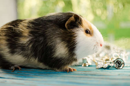 guinea pig, new year, good bokeh, and card for new year calendar Stock Photo