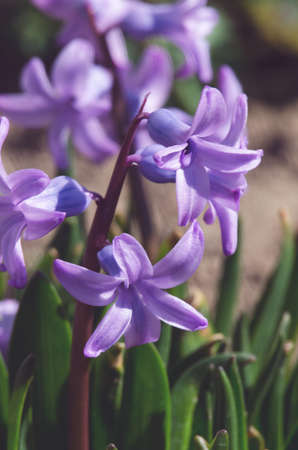Wonderful hyacinth flowers bloom outdoors in spring on a sunny day limited