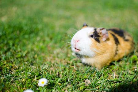 Weidendes Meerschweinchen auf Gras an einem schönen sonnigen Frühlingstag mit guter Laune