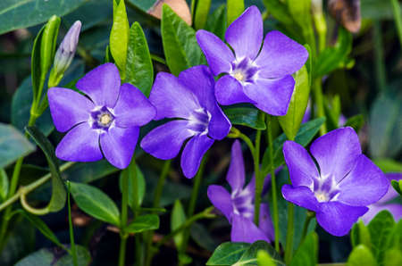 Little delicate flowers of periwinkle for background or spring bouquet Фото со стока