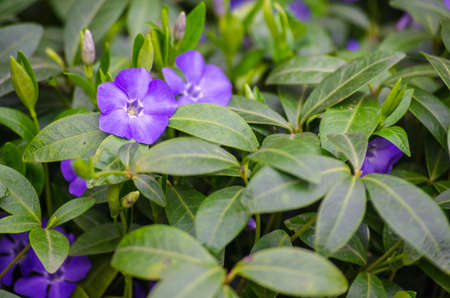 Little delicate flowers of periwinkle for background or spring bouquet