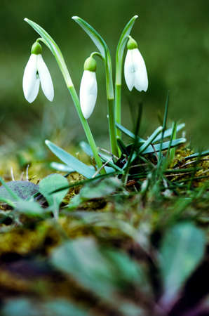 Little first spring flowers of snowdrops bloom outdoors in the spring for the March 8 holiday