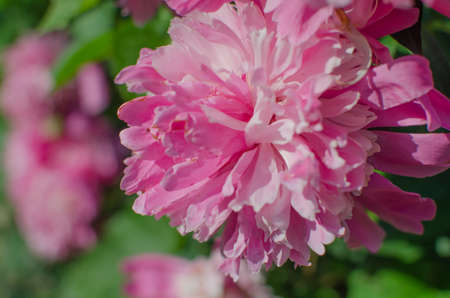 Luxurious peony flower with a beautiful aroma to decorate the flower bed and cut into a bouquet and wallpaper