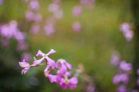 Matthiola This is a semi-shrub or herbaceous plant with soft, pubescent, oblong gray-green leaves. The shape of the bush, depending on the variety can be branched or single-stemmed. There are several groups of leukoids . 스톡 콘텐츠