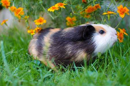 Grazing guinea pig on grass on a beautiful sunny spring day with good mood