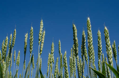 Spikelets of wheat growing outdoors, good harvest, very flour and bread on a limited background