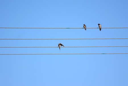 tragos: Golondrinas sientan en los alambres Foto de archivo